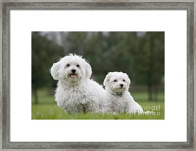Maltese Dog With Puppy Framed Print by Johan De Meester