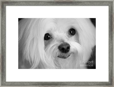 Maltese Eyes Framed Print by Leslie Leda