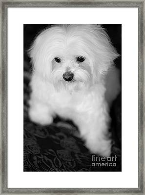 Maltese Love Framed Print by Leslie Leda