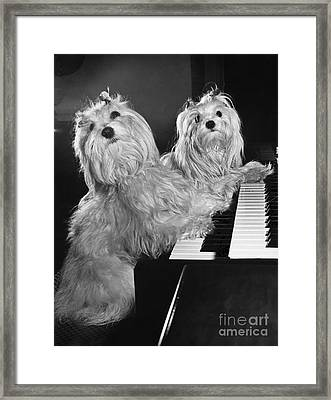 Maltese Pups Framed Print by M. E. Browning