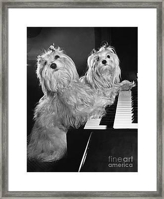 Maltese Pups Framed Print