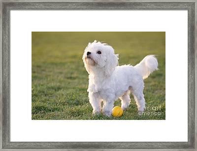 Maltese With Ball Framed Print