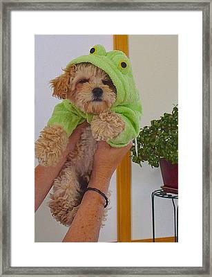 Framed Print featuring the photograph Malti-poo Frog A True Mongrel by Brenda Pressnall