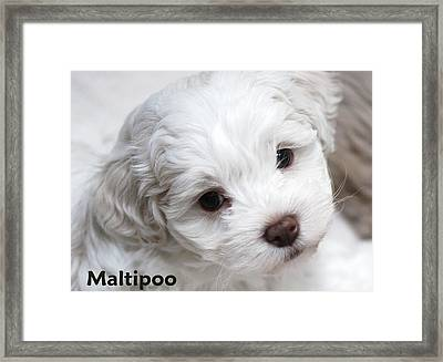 Maltipoo Puppy Framed Print by Lisa  DiFruscio