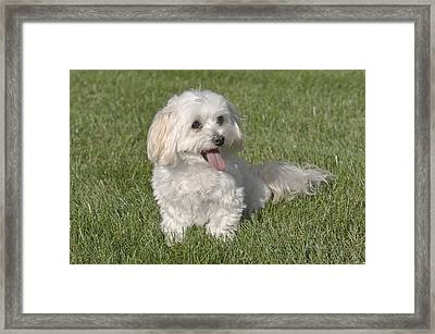 Maltipoo Puppy Sitting In The Grass Framed Print