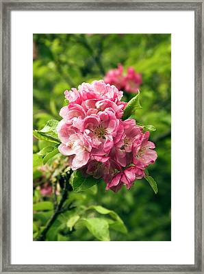 Malus Sylvestris 'albiplena' Flowers Framed Print by Adrian Thomas