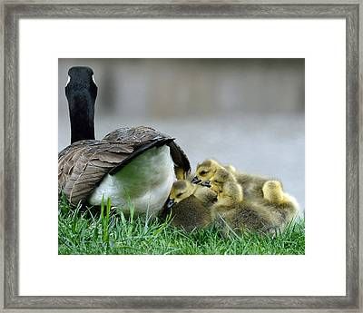 Mama And Goslings Framed Print by Lisa Phillips