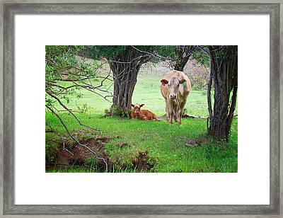 Mama Cow And Calf Framed Print