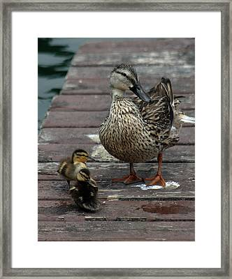 Mama Duck And Ducklings Framed Print