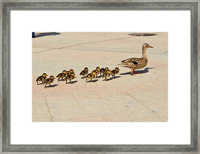 Mama Duck And Eleven Ducklings Framed Print