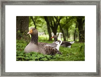 Mama Goose Framed Print by Indigo Schneider