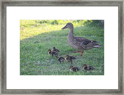 Mama Mallard And Babes Framed Print by Cathy Lindsey
