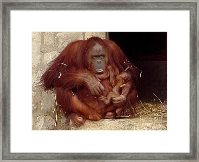 Mama N Baby Orangutan - 54 Framed Print by Gary Gingrich Galleries