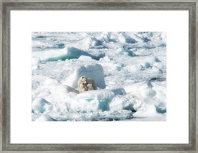 Mama Polar Bears And Cubs Framed Print by June Jacobsen