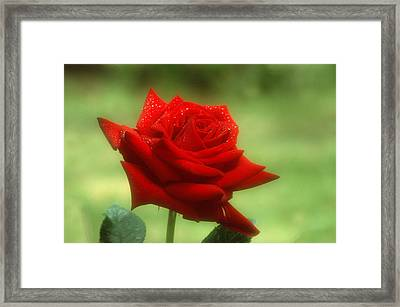 Mama's Red Rose Framed Print