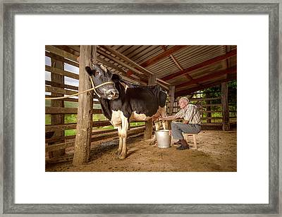 Man Milking A Cow In A Barn Framed Print by Ktsdesign