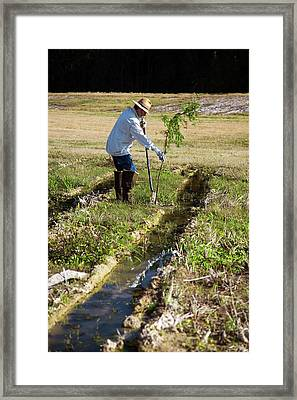 Man Planting A Cypress Tree Framed Print