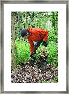 Man Removing Invasive Plants Framed Print by Jim West