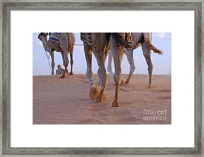 Man With Three Camels By A Sand Dune Framed Print by Sami Sarkis