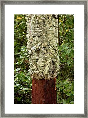 Managed Cork Oak (quercus Suber) Tree Framed Print by Bob Gibbons