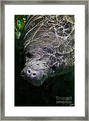 Framed Print featuring the photograph Manatee 01 by Melissa Sherbon