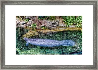 Manatee Framed Print by Olga Hamilton