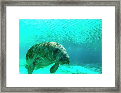 Manatee Swimming In Clear Water Framed Print