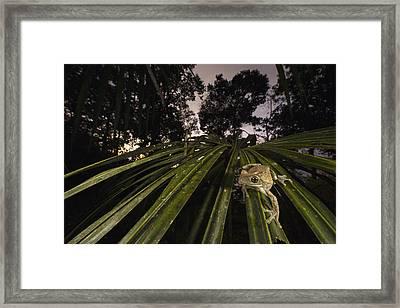 Manaus Slender-legged Treefrog Framed Print by Cyril Ruoso