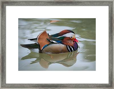 Framed Print featuring the photograph Mandarian Drake by Tyson and Kathy Smith