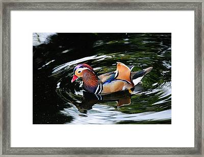 Mandarin Duck Framed Print by Bonnie Fink
