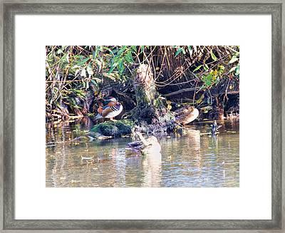 Mandarin Duck Framed Print by Leif Sohlman