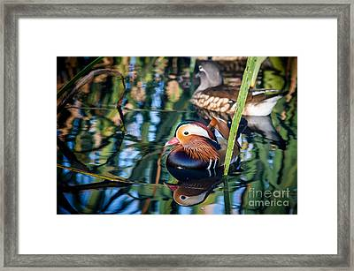 Mandarin Duck Reflections Framed Print by Peta Thames