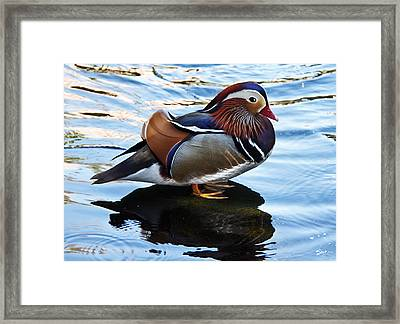 Mandarin Duck Framed Print by Robert Bales