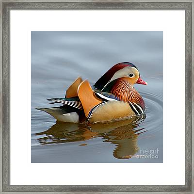 Framed Print featuring the photograph Mandarin Duck Swimming by Bob and Jan Shriner