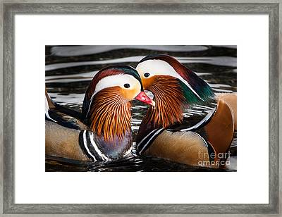 Mandarin Lovers Framed Print by John Wadleigh