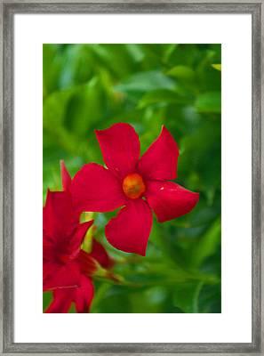 Mandevilla 2 Framed Print