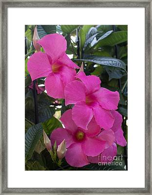 Mandevilla Beauty Framed Print by Arlene Carmel