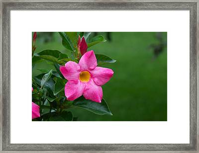 Framed Print featuring the photograph Mandevilla by Nature and Wildlife Photography