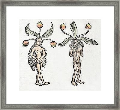 Mandrakes Framed Print by Paul D Stewart