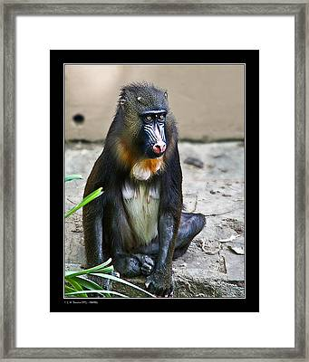 Framed Print featuring the photograph Mandril by Pedro L Gili