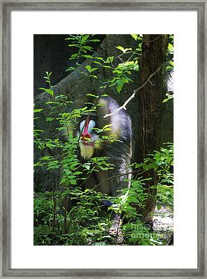 Framed Print featuring the photograph Mandrill Baboon by Rafael Quirindongo