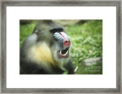 Mandrill Framed Print by Rich Collins