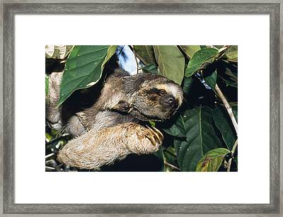 Maned Three-toed Sloths Framed Print by M. Watson