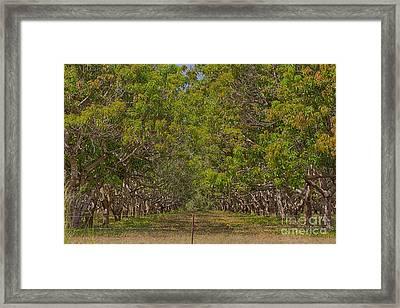 Mango Orchard Framed Print