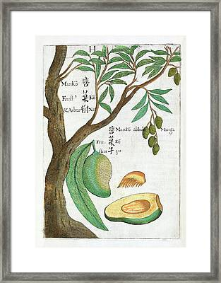 Mango Tree And Fruit Framed Print