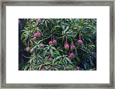 Mango Tree, Honduras Framed Print by Keren Su