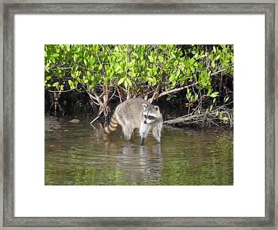 Mangrove Coon Framed Print by Bob Jackson