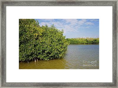 Mangrove Fores Framed Print by Carol Ailles