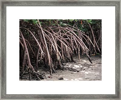 Mangrove Roots Framed Print by Megan Dirsa-DuBois