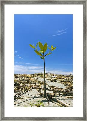 Mangrove Seedling On A Beach Framed Print by Science Photo Library